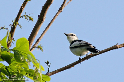 Pied Triller - male