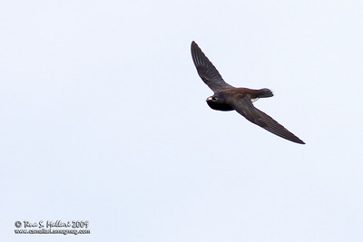 Purple Needletail - Hirundapus celebensis