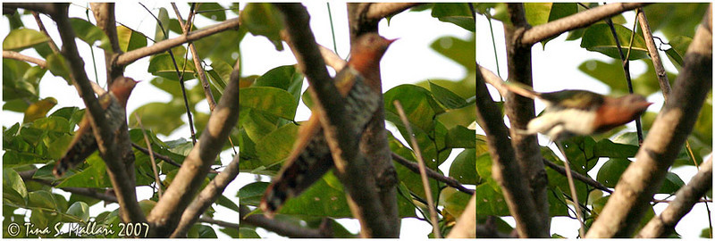 Violet Cuckoo - this are the only photos I was able to take of this bird.  My lens had a hard time focusing out of excitement ;)