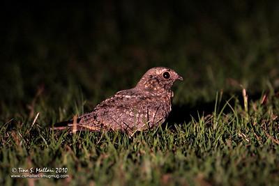 Savanna Nightjar (Caprimulgus affinis)