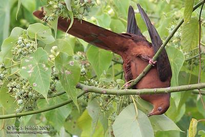 Philippine Cuckoo-Dove