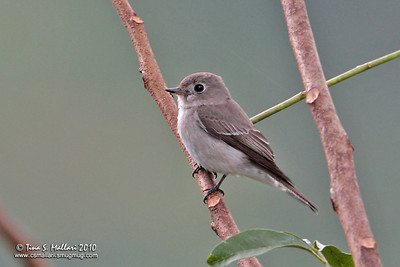 Asian Brown Flycatcher (Muscicapa dauurica)