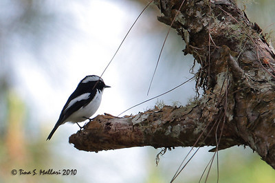 Little Pied Flycatcher (Ficedula westermanni) male