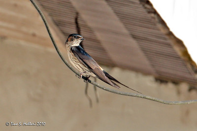 Striated Swallow