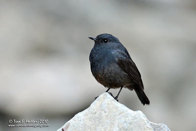 Luzon Water Redstart (Rhyacornis bicolor) a Philippine Endemic female