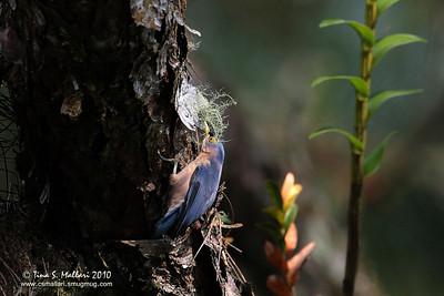 Sulphur-billed Nuthatch (Sitta oenochlamys isarog) a Philippine Endemic