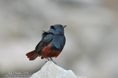 Luzon Water Redstart (Rhyacornis bicolor) a Philippine Endemic