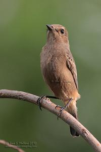 Pied Bushchat (Saxicola caprata)