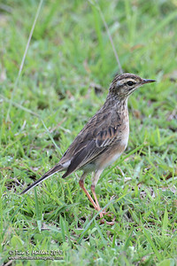 Paddyfield Pipit (formerly Richard's Pipit) (Anthus rufulus)