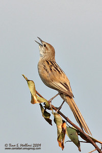 Striated Grassbird Megalurus palustris