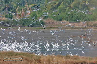 Egrets and Terns