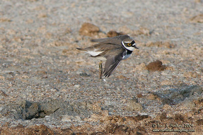 Little Ringed-Plover (Charadrius dubius)