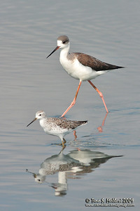 Black-winged Stilts (Himantopus himantopus)
