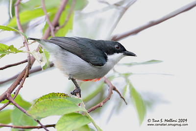 Red Keeled Flowerpecker (Dicaeum australe australe) Philippine Endemic