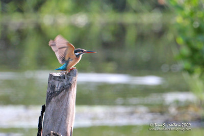 Common Kingfisher (Alcedo atthis) This kingfisher was really far away but even if the details are not there, i still decided to post it because of the open wings position which I rarely ever get . I should have used my 1.4 TC on this one.
