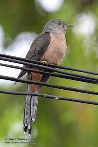 Brush Cuckoo (Cacomantis variolosus sepulcralis)