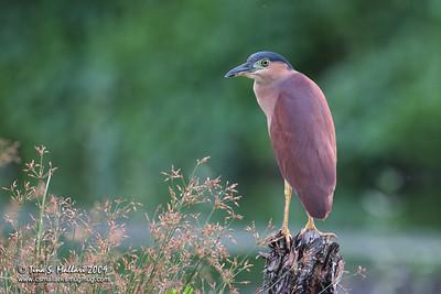 Rufous Night Heron (Nycticorax caledonicus)
