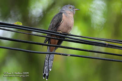 Brush Cuckoo - full frame