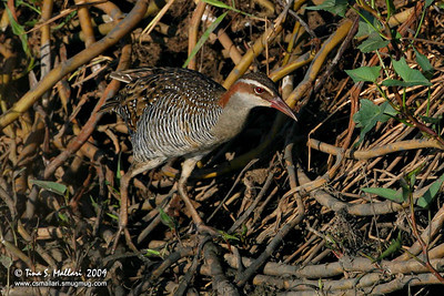 Buff Banded Rail