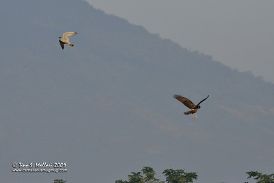 Peregrine Falcon & Eastern Marsh Harrier