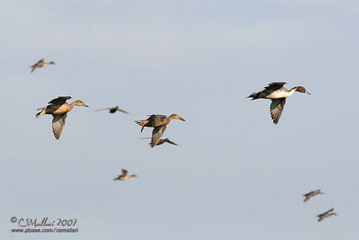Northern Shovelers & Northern Pintail