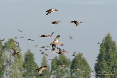 Philippine Ducks & Northern Shovelers