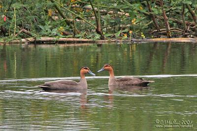 Philippine Ducks