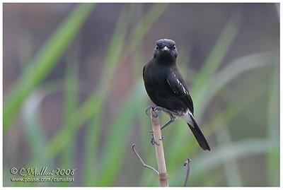 Pied Bushchat (male)