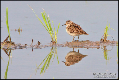 Long Toed Stint