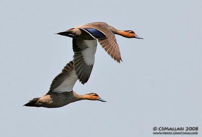 Philippine Duck (anas luzonica)