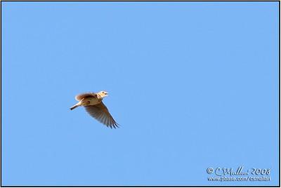 Oriental Skylark