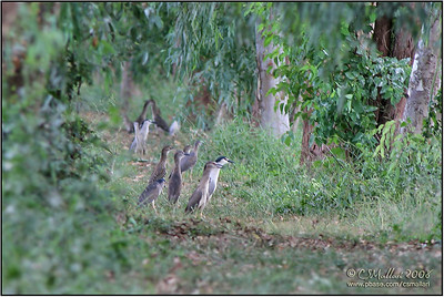 Black-Crowned Night-Herons - Just Hanging Around