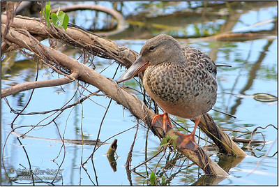 Northern Shoveler - female