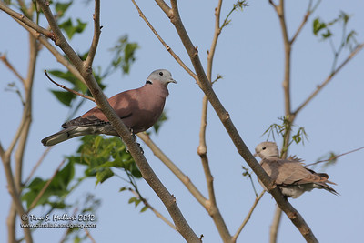 Red Turtle-Dove (Streptopelia tranquebarica humilis)