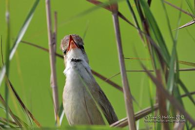Clamorous Reed-Warbler (Acrocephalus stentoreus)
