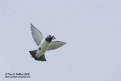 White-Breasted Wood-Swallow (Artamus leucorynchus)
