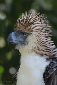 Philippine Eagle (pithecophaga jefferyi) a Philippine endemic