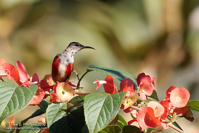 Purple-throated Sunbird (Nectarinia sperata)