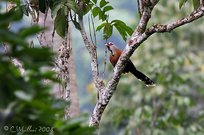 Scale Feathered Malkoha