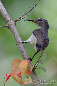 Purple Throated Sunbird (female)