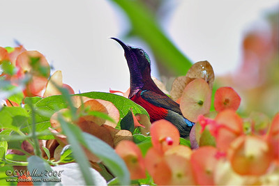 Purple Throated Sunbird (male)