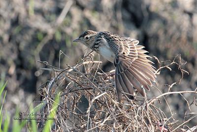 Oriental Skylark (Alauda gulgula wolfei) endemic race