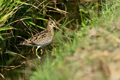 Pintail or Swinhoe's Snipe