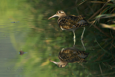 Greater Painted-Snipe (Rostratula benghalensis)
