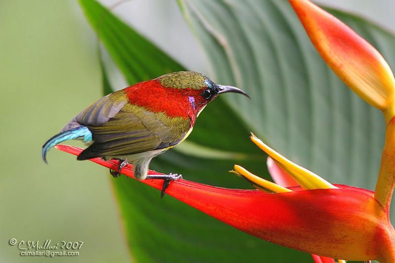Handsome Sunbird