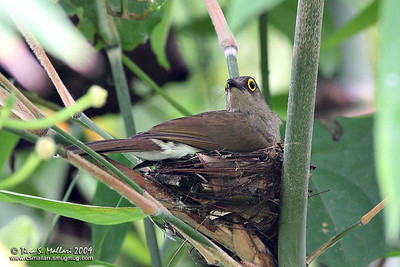 Yellow-wattled Bulbul (Pycnonotus urostictus) Philippine Endemic