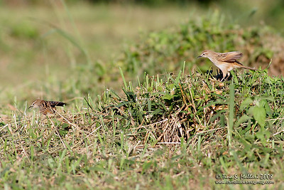 Striated Grassbird (Megalurus palustris )