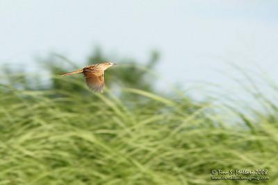 Striated Grassbird (Megalurus palustris )