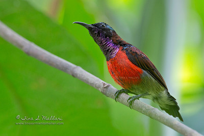 Purple Throated Sunbird (Nectarinia sperata)