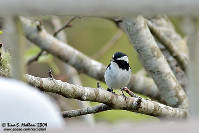 Little Pied Flycatcher